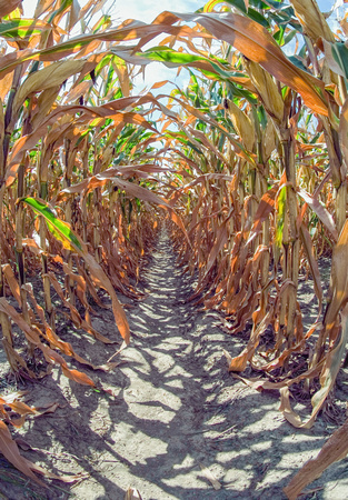 Drought Conditions - Corn Field