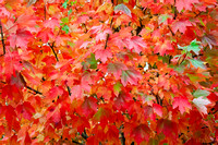 Raindrops Rest on Beautiful Red Fall Foliage