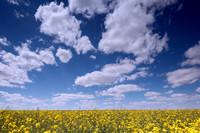 Canola Field and Clouds, 2014