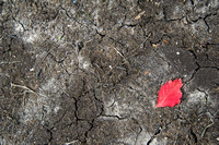 Drought Conditions With One Red Leaf